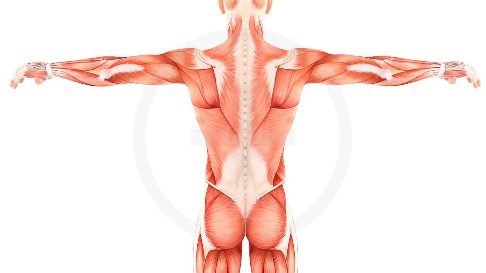 Grundlagen der Anatomie | moveorespiro - Yoga und Pilates in Stuttgart