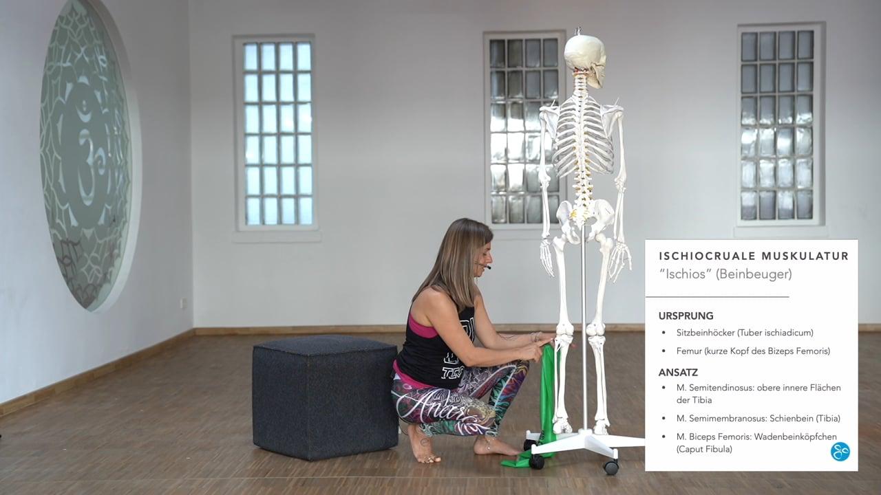 Anatomie 06 Beinmuskulatur