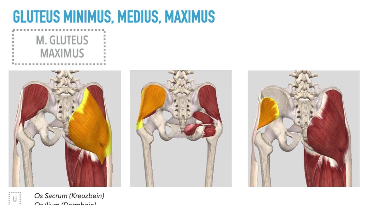 Anatomie der Hüfte (Aktiver Bewegungsapparat)